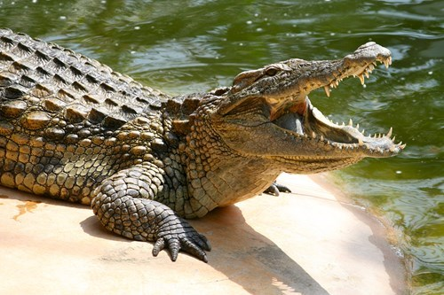 A toronto man needs help to remove his 150 alligators, crocodiles and caimans.
