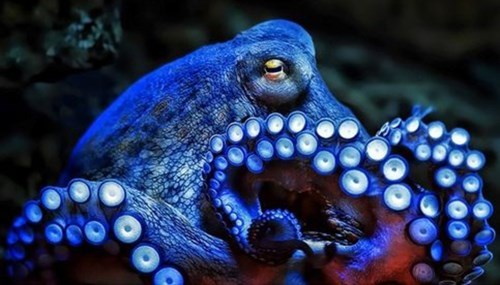 science octopus image They Have Three Hearts and Copper Based Blue Blood