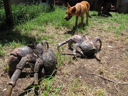 coconut crab from Gaum