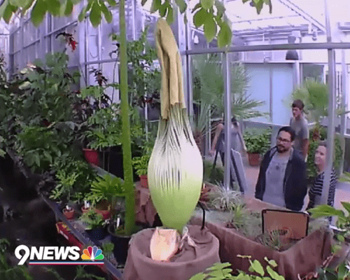 A giant corpse flower is ready to bloom in Denver