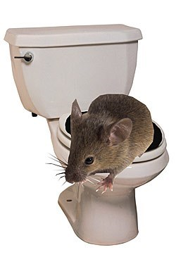 Rats can climb into your toilet and we know how.
