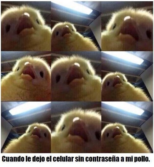 pollo y celular