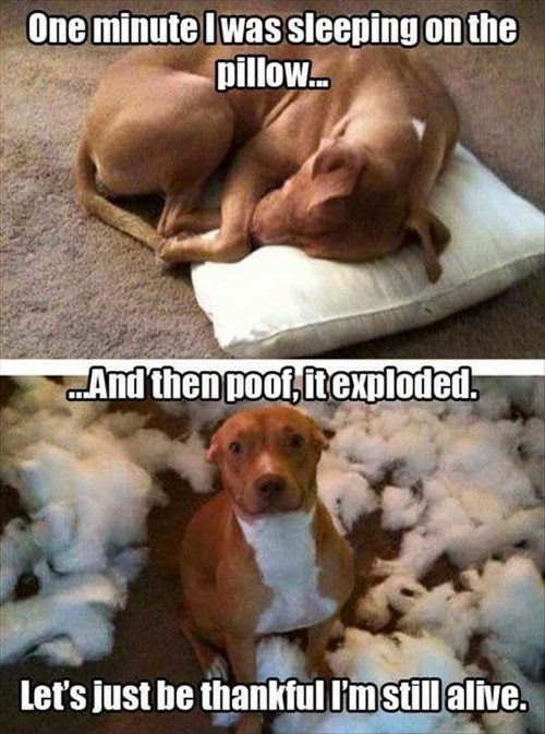 Pillow,dogs,exploded,caption