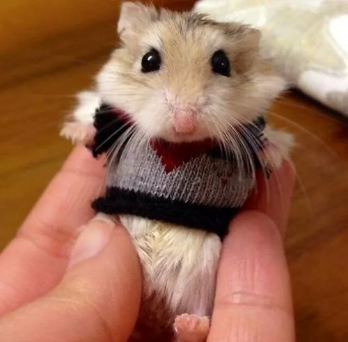 cute hamster image This Hamster Is Ready for Fall in His New Sweater