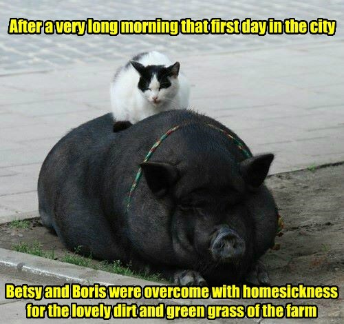 pig,captions,cute,Cats