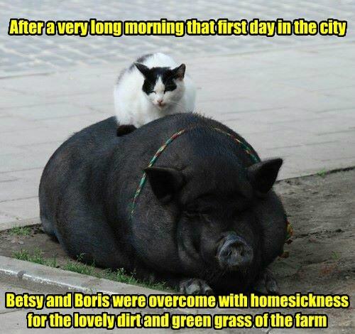 pig captions cute Cats - 8557092352