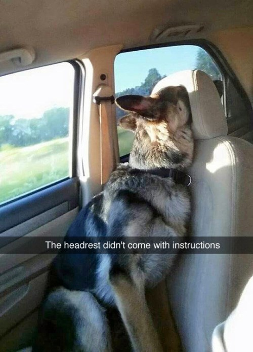 funny memes dog with face in headrest