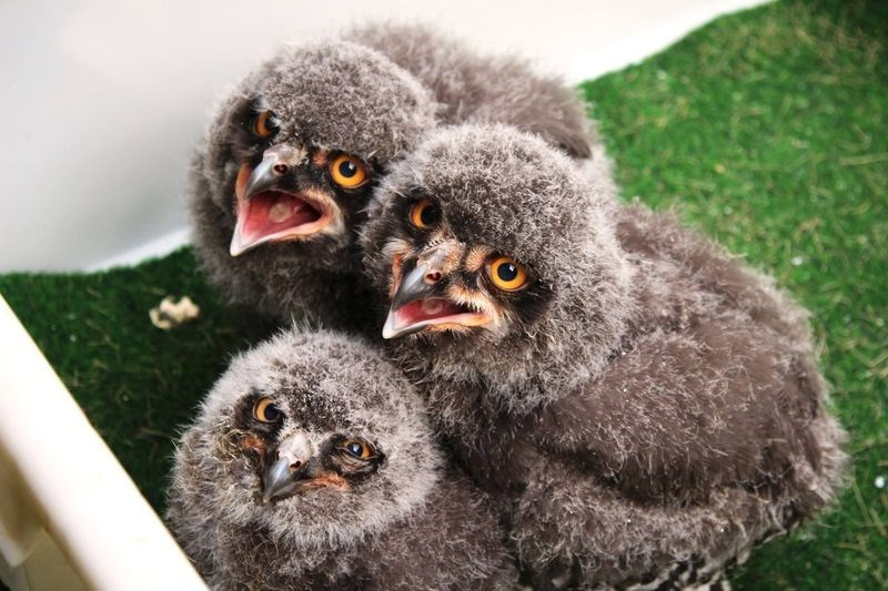 cute owls image These Snowy Owlets Are Very Cute and, For Some Reason, Also Very Disappointed in You