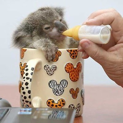 cute koala image Something About This Tea Tastes Off