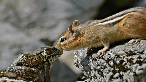 cute squirrel frog An Unusual Chipmunk/Frog Friendship