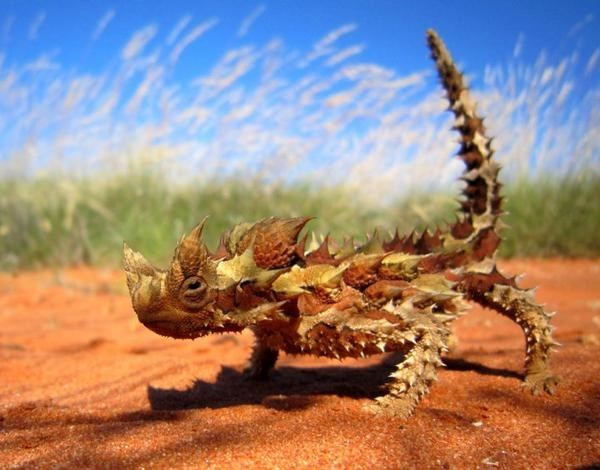 cute lizard image A Thorny Devil, Because Lizards Can be Cute Too
