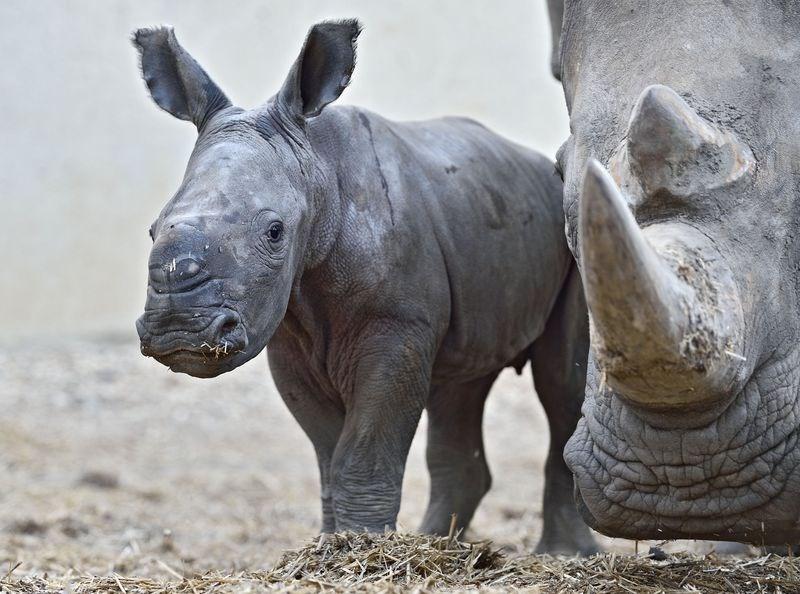 cute rhino image Welcome to the World, Kipenzi the Baby White Rhinoceros!
