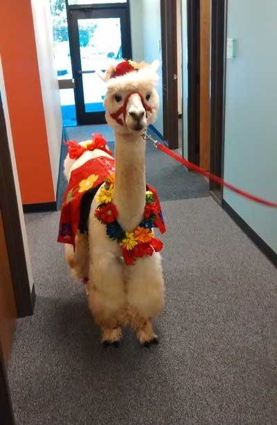 funny alpaca image Must Be Casual Friday at the Office