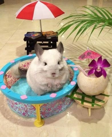 cute chinchilla image This Chinchilla Loves Summer
