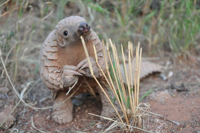 cute pangolin image Please Sir, Could You Spare a Few Ants?