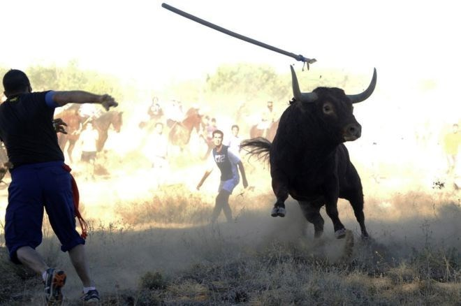 Toro de la Vega draws tens of thousands of protestors opposing the medieval festival.