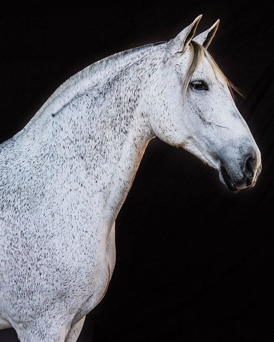 horses - vertical photograph of beautiful white horse against a black background