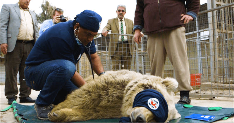 lion rescued by a veterinarian