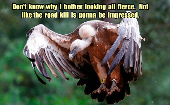 vulture,roadkill,funny,captions