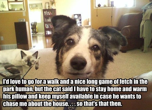 . . . so that's that then. I'd love to go for a walk and a nice long game of fetch in the park human, but the cat said I have to stay home and warm his pillow and keep myself available in case he wants to chase me about the house.