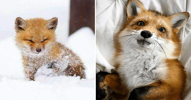 amazing foxes