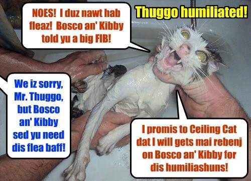 Thuggo gets a terrible suprize when Animal Control unexpectedly rushes onto teh KKPS Kampus, grabs Thuggo and subjects hims to a degrading & demeaning baff to remove an infestashun ob fleas dat Bosco an' Kibby sed Thuggo had!