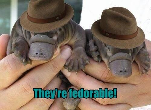 platypus captions puns fedora - 8570345216