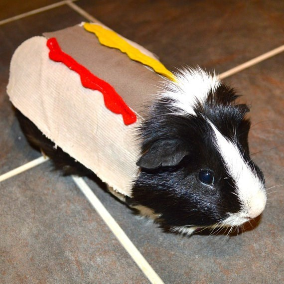 cute hot dog guinea pig