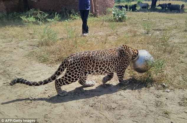An Indian Leopard got his head stuck in a pot.