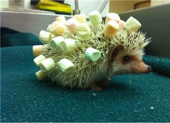 cute hedgehog image Who Wants to Have a Bonfire? I'll Bring the Marshmallows!
