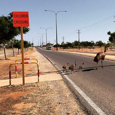 funny emus image Keep an Eye Out for the Adult Emus Too