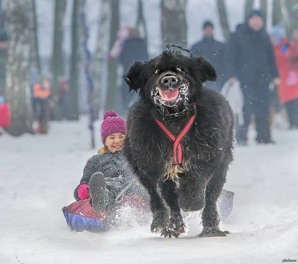 funny dogs image No One Loves Snow More Than This Dog
