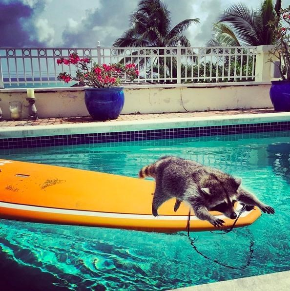 cute raccoons rescue now she plays in the pool