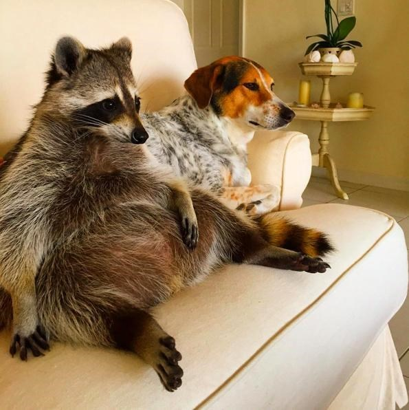 cute raccoons rescue Watches TV With Her Dog Siblings