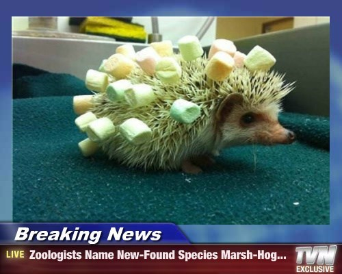 marshmallows hedgehog funny animals - 8572223488