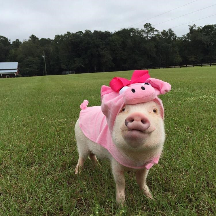 cute pigs halloween costumes No, I Said for Halloween I Just Want to Be Myself!