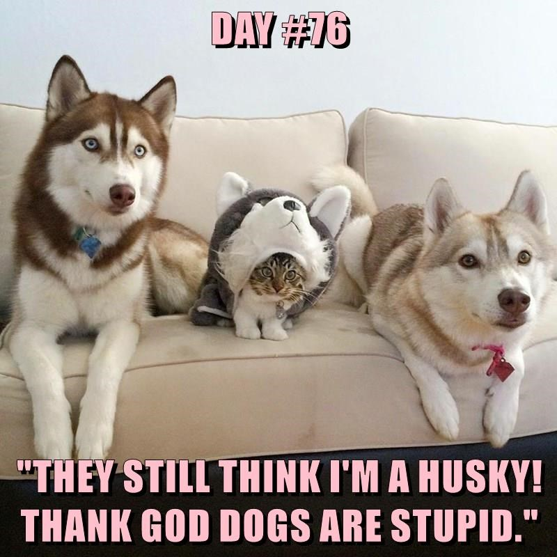 "DAY #76  ""THEY STILL THINK I'M A HUSKY! THANK GOD DOGS ARE STUPID."""