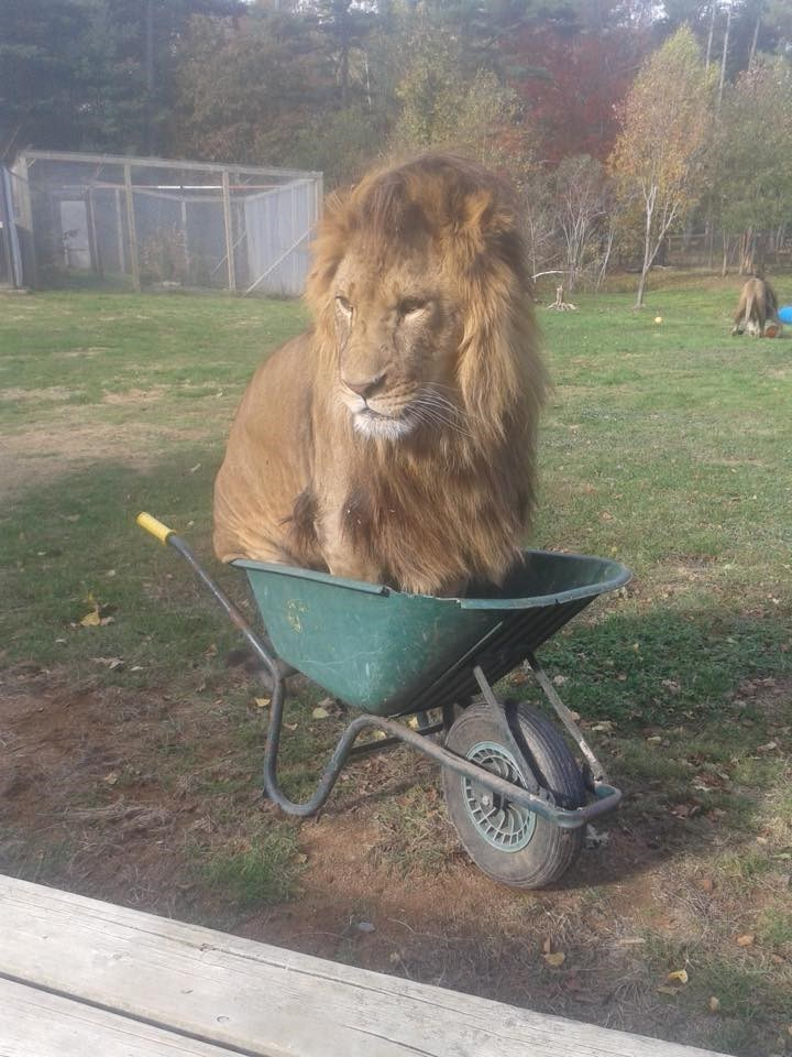 lions funny image If I Fits, I Sits. You Got a Problem With That?