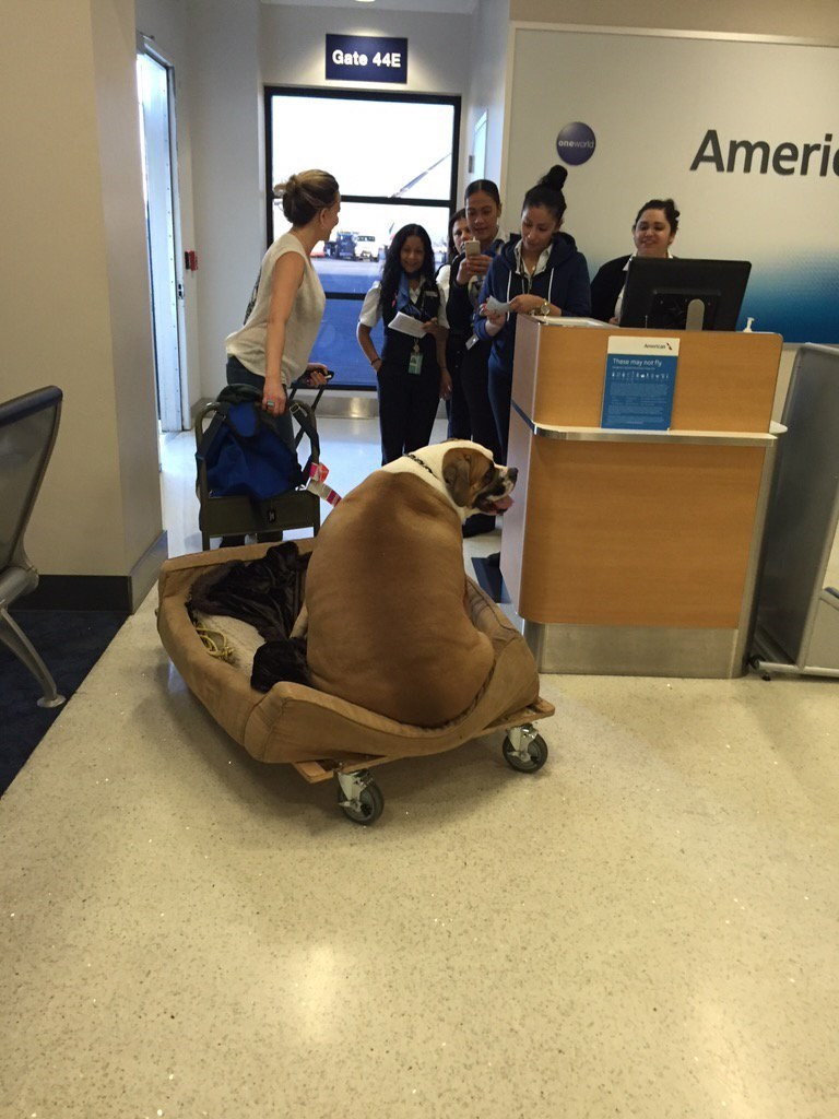 """funny dogs image The """"Fattest Dog"""" Spotted Living the High Life Flying in First Class"""