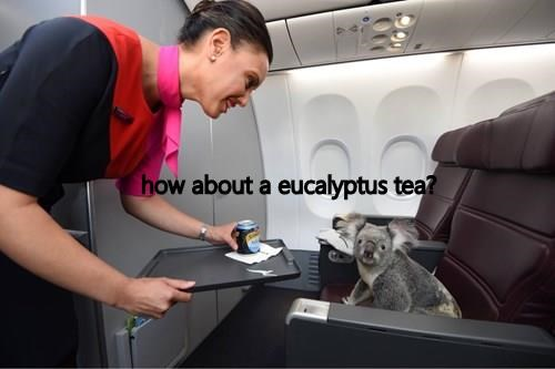 Picture of a Koala riding in first class on an airplane and being offered some eucalyptus tea.