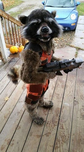 rocket raccoon costume halloween Apparently, Rocket Raccoon Was Trick or Treating on Halloween, Telling Everyone He Was a Kid in a Costume