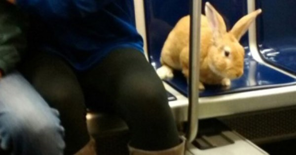 Animal of The Day: Boston Transit Police Remind People Not to Take up Train Seats With Rabbits