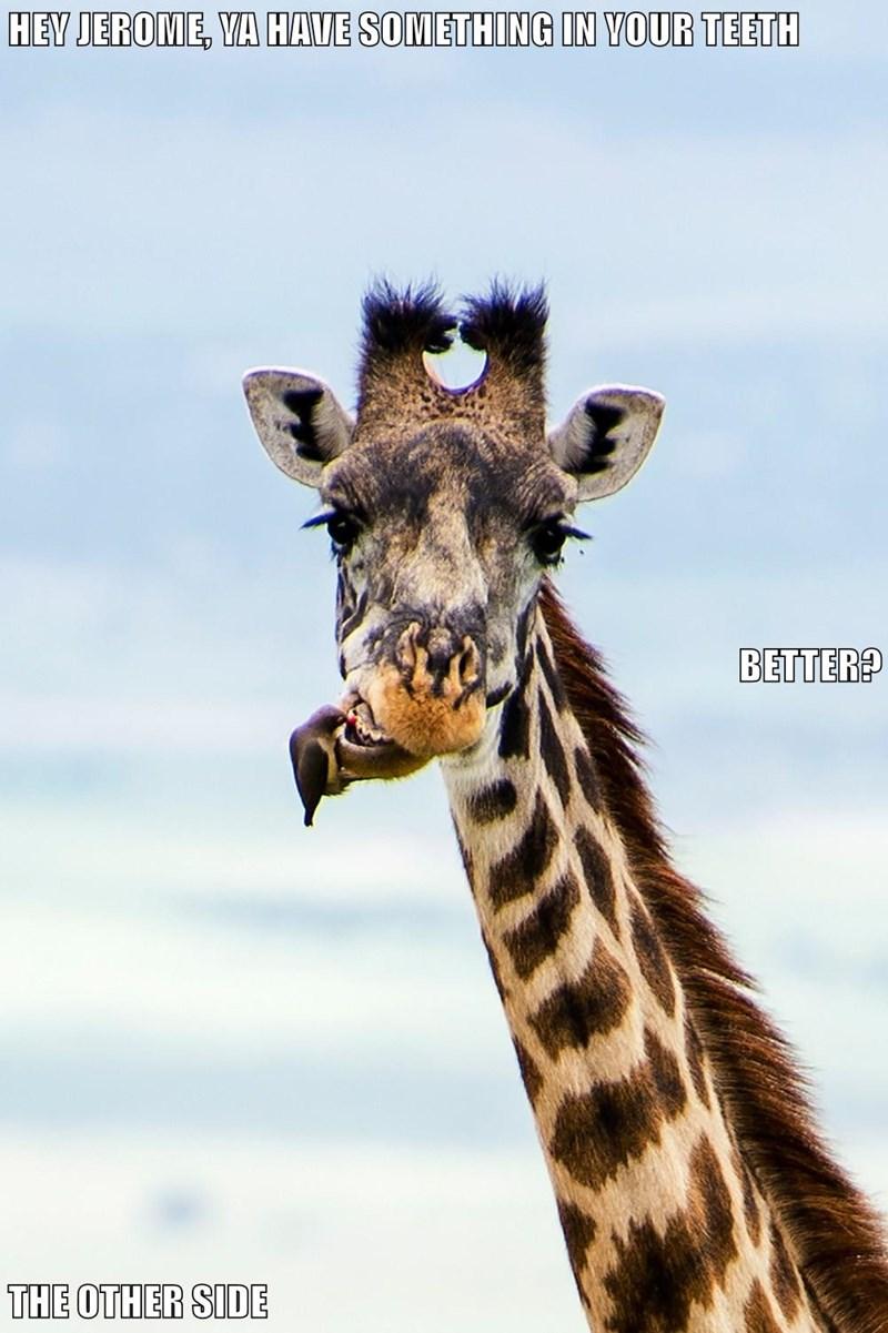 animals teeth funny animals giraffes - 8583347968