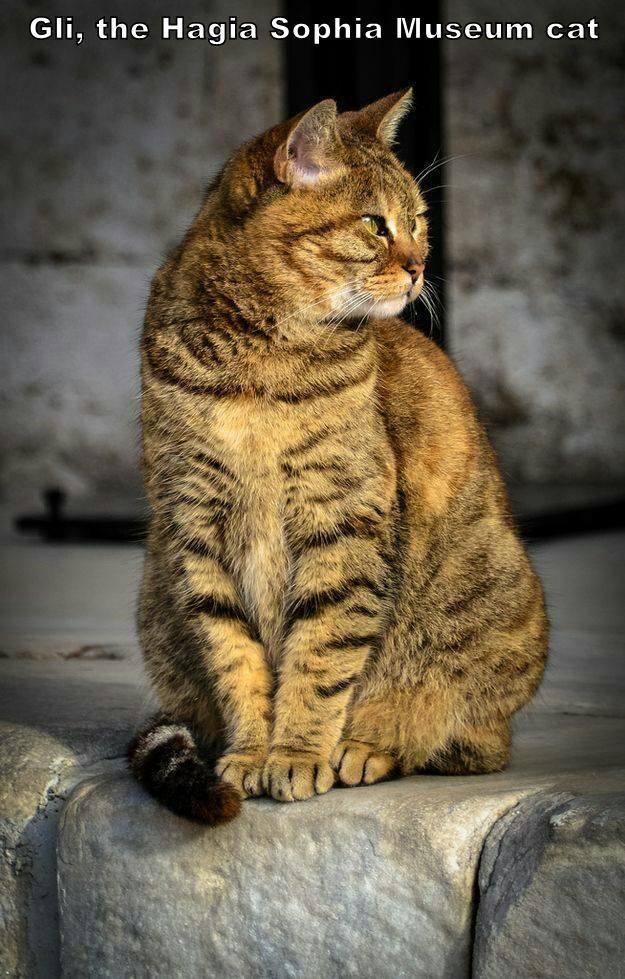 Gli, the Hagia Sophia Museum cat
