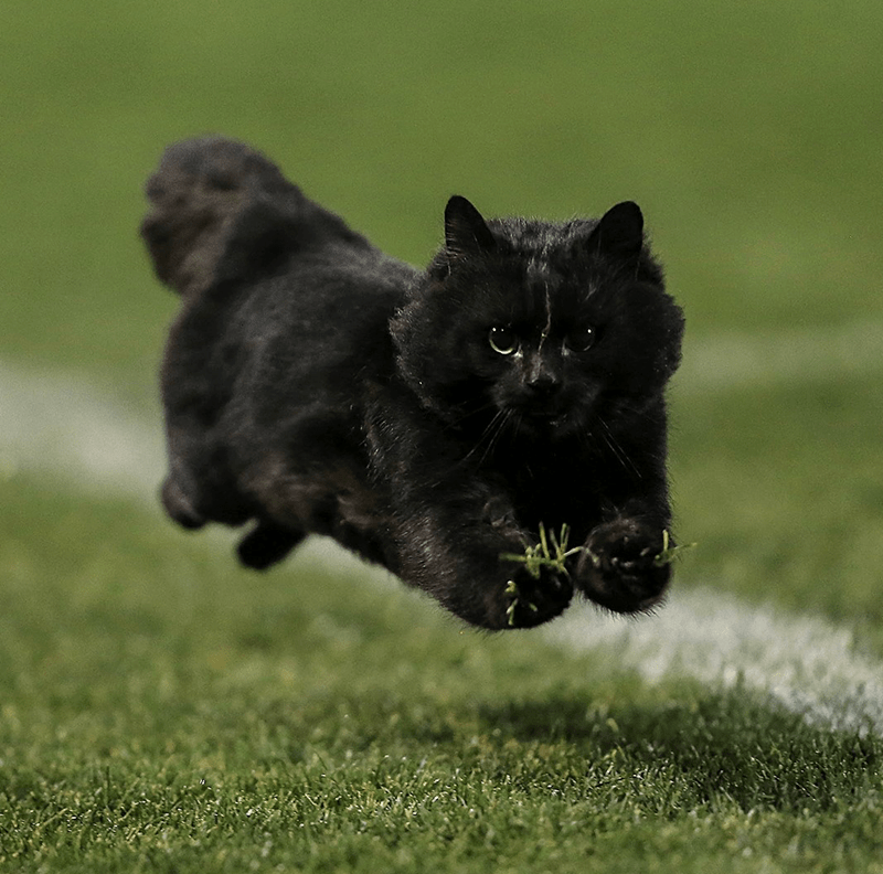 cat running across a field during a rugby game