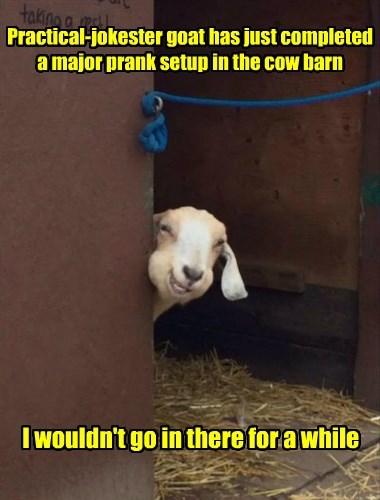 goats prank funny animals - 8586688768