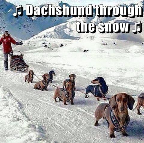 animals dogs sled snow dachshund through caption dashing - 8586865408