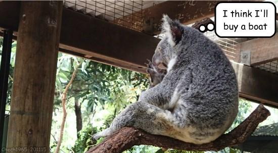 What koalas think.