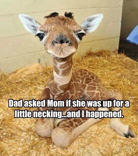 funny animals giraffes - 8587335424