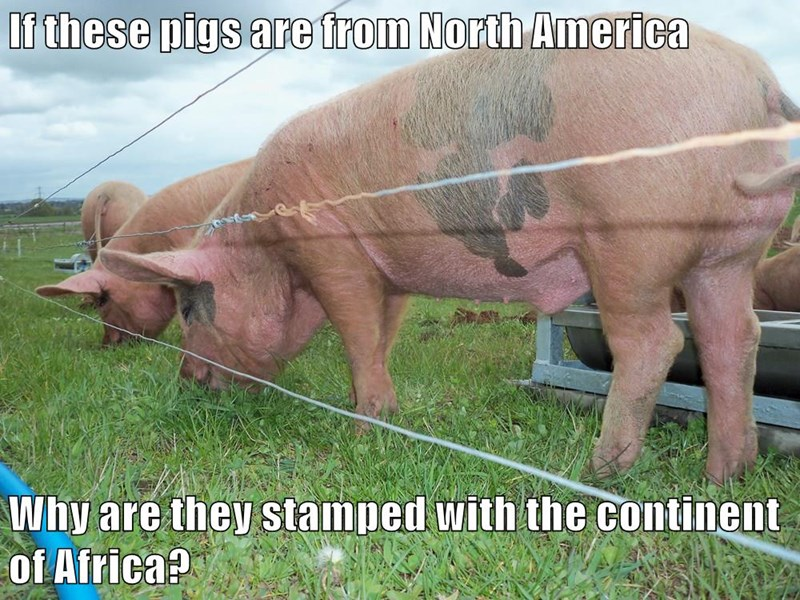 animals pig - 8588187392